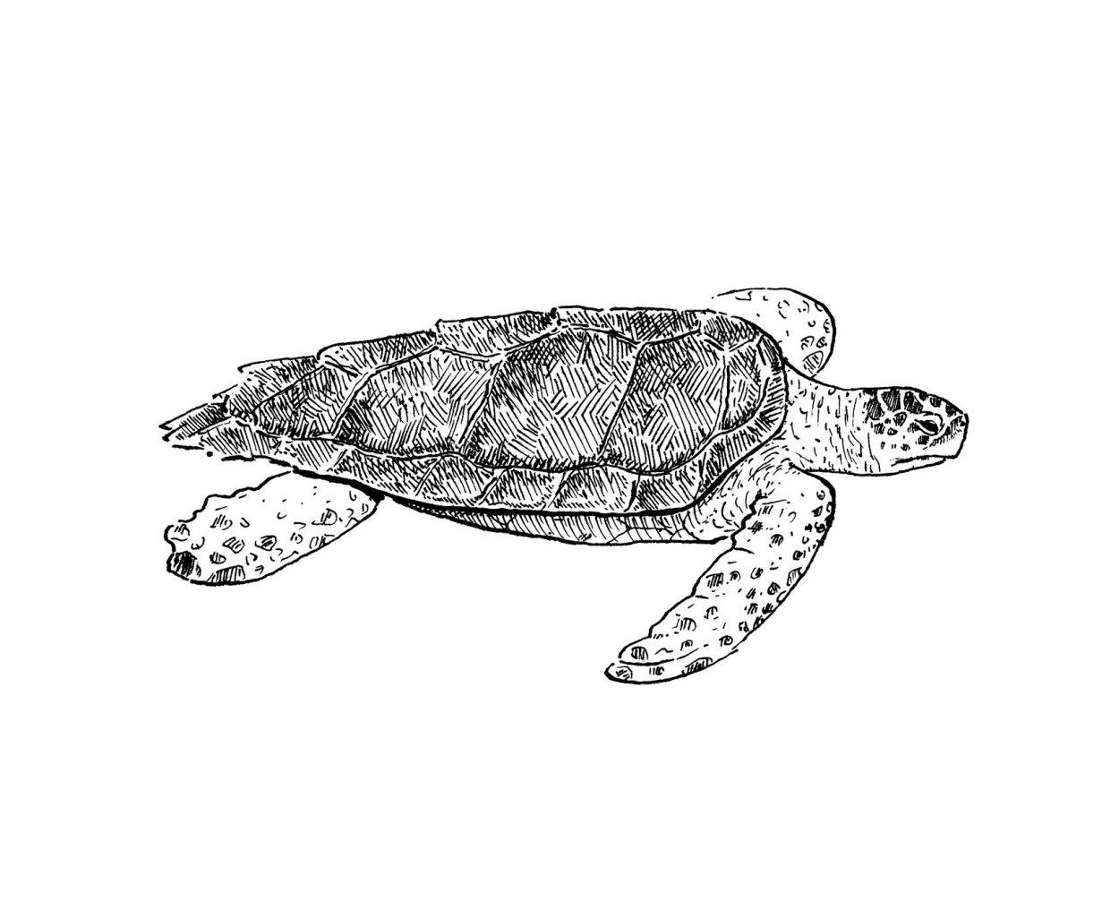 Ilustración en blanco y negro de la tortuga boba del mediterrano. Tinta sobre papel. Dibujos naturaleza y animales marinos