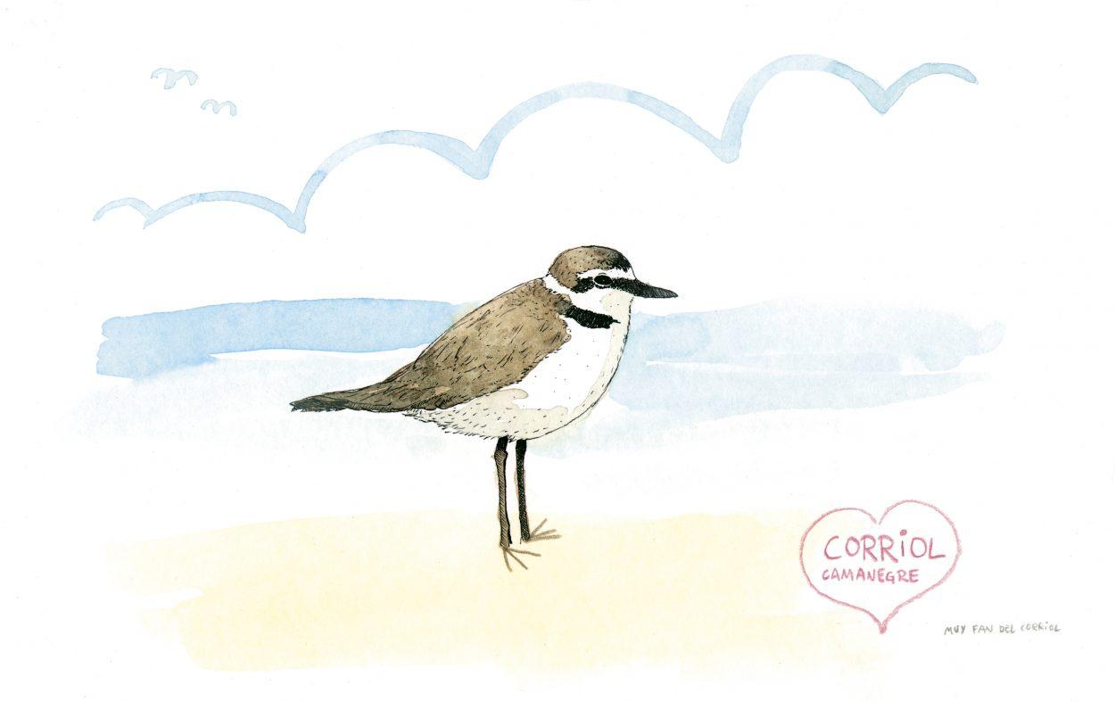 Ilustración en acuarela de un Chorlitejo Patinetgro en la playa de Oliva, Valencia