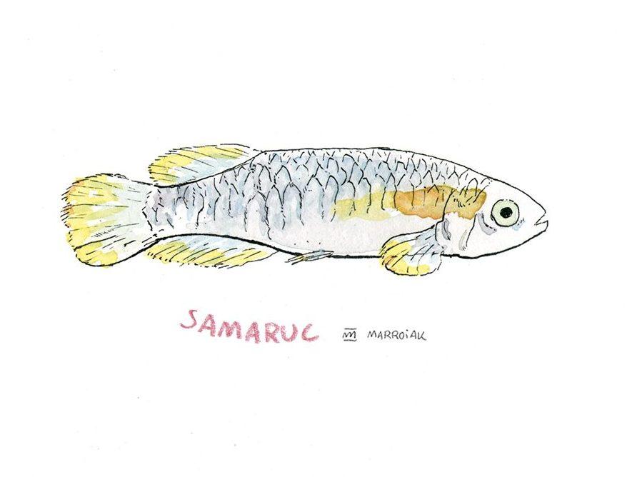 Lámina con una ilustración en acuarela de una samaruc (samarugo), pez autóctono de valencia - valencia hispanica