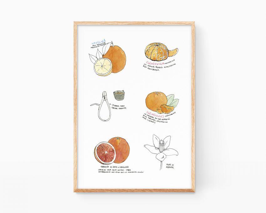 Lámina decorativa para cocinas con un dibujo en acuarela de variedades de naranjas de la Comunidad Valenciana.