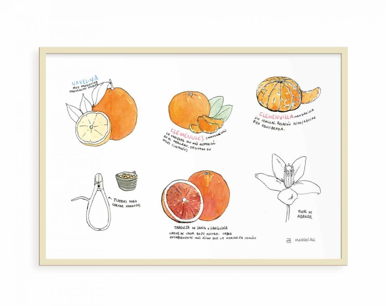 Lámina con un dibujo de diferentes variedades de naranjas de Valencia. Ilustración en tinta y acuarela sobre papel